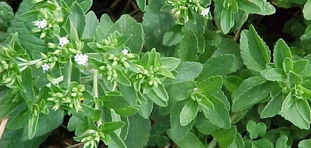 Plante de stevia Rebaudiana